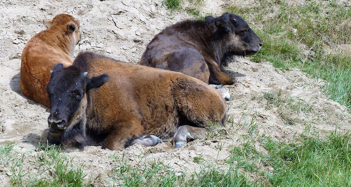 Zoo sauvage de Saint-Felicien