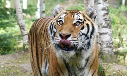 Spot 12 : Zoo sauvage de Saint-Félicien